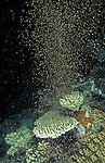 Coral spawning in the Great Barrier Reef every year in November 3 - 5 days after full moon.Great Barrier Reef, Queensland, Australia