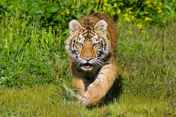 Siberian Tiger cub (Panthera tigris) at about 4 1/2 months.
