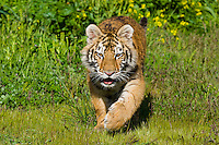 Siberian Tiger cub (Panthera tigris) at about 4 1/2 months.