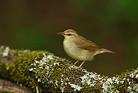 Swainson's Warbler (Limnothlypis swainsonii), adult, South Padre Island, Texas, USA