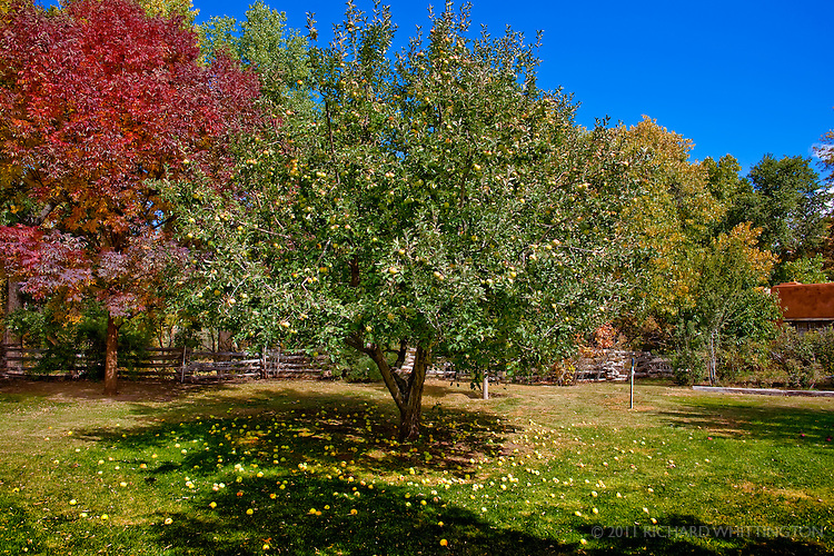 These lovely apple trees and other fruit trees were on the grounds of Rancho Jacon. I made a delicious apple and pear crisp and we fed many apples to the sheep, goats, and burros there.