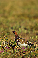 Male Willow Ptarmigan (Lagopus lagopus) on tundra.  Arctic National Wildlife Refuge, Alaska.  Summer.
