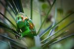 Male Parson's Chameleon (Calumma parsoni) moving in canopy foliage. Mantadia National Park, eastern Madagascar