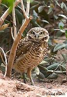 0723-1104  Western Burrowing Owl (Northern Borrowing Owl), Athene cunicularia hypugaea  © David Kuhn/Dwight Kuhn Photography.