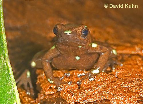 0930-07uu  Dendrobates auratus ñ Ancon Hill Arrow Frog - Ancon Hill Dart Frog  © David Kuhn/Dwight Kuhn Photography
