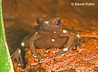 0930-07uu  Dendrobates auratus ñ Ancon Hill Arrow Frog - Ancon Hill Dart Frog  © David Kuhn/Dwight Kuhn Photography