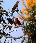 Scarlet tanager, Piranga olivacea, Panama<br /> <br /> Male & female