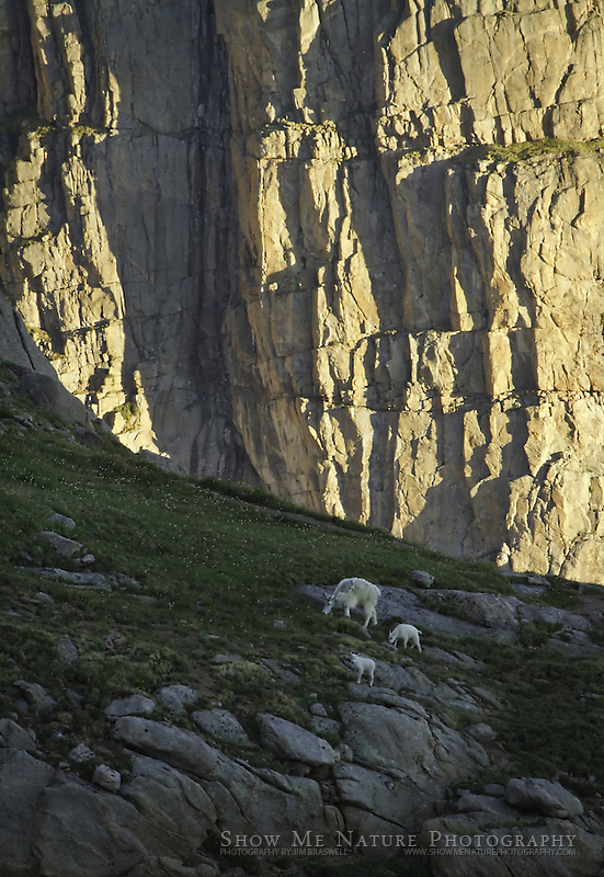 Mountain Goat ewe with 2 kids