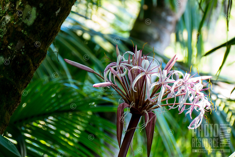 Spider lilies at Hawaii Tropical Botanical Garden near Onomea Bay in Papa'ikou near Hilo, Big Island of Hawai'i.