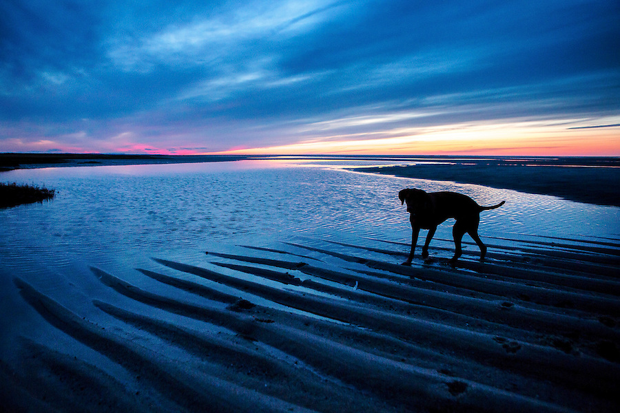 A dog is silhouetted at sunset at Rock Harbor Beach in Orleans, MA.
