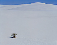 Morning light on a lone yucca on the white sand dunes; White Sands National Monument, NM