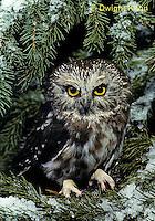 OW02-047a  Saw-whet owl - Aegolius acadicus