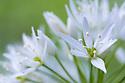 Wild Garlic / Ramsons (Allium ursinum) Isle of Mull, Scotland, UK. June.