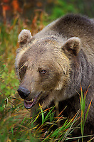 Grizzly Bear..Autumn. Rocky Mountains..(Ursus arctos).
