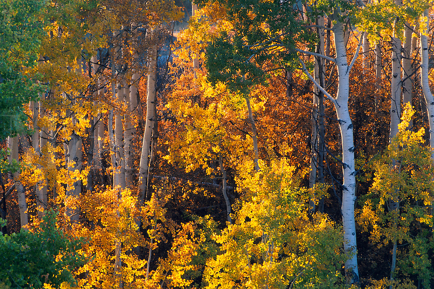 Trees changing in Fall in the Elk Mountains, golden color leaves foliage in autumn, Gunnison National Forest, Colorado.