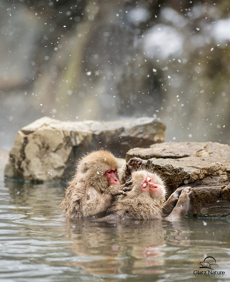 Grooming is a big part of Japanese Macaque/ Snow Monkey (Macaca fuscata) society. Here the individual on the left appears to be performing a Vulcan mind meld on his sleepy counterpart.<br />