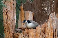 Canada Goose, Branta canadensis, perched on a tree stump near Hyatt Lake, Oregon