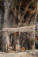 India, Dehradun.  String is often tied around a banyan tree, in the hope of good fortune.