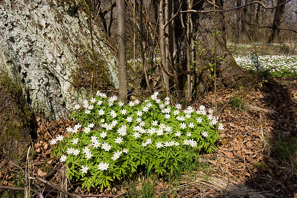 Wood anemone in forest, Anemone nemorosa, Bavaria, Germany
