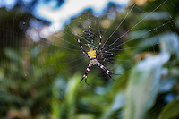 A close-up of a Hawaiian garden spider (argiope appensa) in the center of its suspended web, Maui.