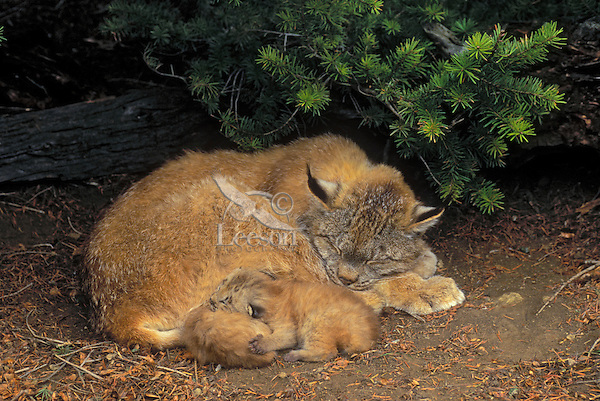LYNX mom with 2 week old kittens under shelter of fir tree. Spring. Rocky Mountains. North America. (Felis lynx canadensis).