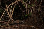 Common Palm Civet (Paradoxurus hermaphroditus) in rainforest at night, Sigiriya, Sri Lanka
