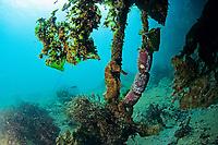 Longnose seahorse, Hippocampus trimaculatus, Shikine-jima island, Tokyo, Japan, Pacific Ocean