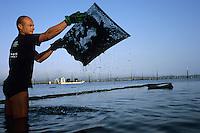 Europe/France/Aquitaine/33/Gironde/Bassin d'Arcachon/Ares: Avec Eric Dauges ostréiculteur sur les parcs à Huitres-Travail sur les poches d'Huitres