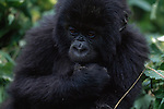 A portrait of a young gorilla in the Virunga Mountains in Volcanoes National Park, Rwanda.