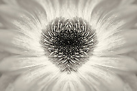 Close up of heart shaped Gerbera Daisy. Oregon