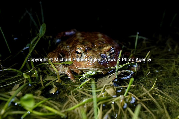 Incredible detail and textures on the skins of frogs and toads is captured at night.  While many people assume these amphibians are slimy and smooth, these amazing photos show another side to the creatures, revealing a bumpy, textured surface to their skin.<br /> <br /> The animals gathered around Janesmoor Pond in the New Forest during mating season and were photographed by 51 year old Michael Palmer from nearby Southampton, Hants.  SEE OUR COPY FOR DETAILS.<br /> <br /> Please byline: Michael Palmer/Solent News<br /> <br /> © Michael Palmer/Solent News & Photo Agency<br /> UK +44 (0) 2380 458800