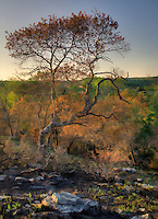 Plants return quickly to an area burned in a controlled burn in the Texas Hill Country near Fredericksburg.