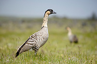 Pair of endangered Nene or Hawaiian Goose (Branta sandvicensis). The Nene evolved from the Canada Goose, which likely migrated to the Hawaiian islands 500,000 years ago, shortly after the island of Hawaiʻi was formed. It is the world's rarest goose. Hawaii. April.
