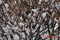"1229-07nn  Camouflaged Black-capped Chickadee ""In Winter on Bush"" - Parus atricapillus © David Kuhn"