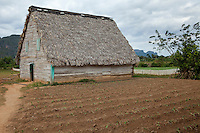 Cuba, Pinar del Rio Region, Viñales (Vinales) Area.  Tobacco barn for drying tobacco.  In front is a field of newly-planted tobacco seedlings.