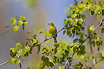 Nashville warbler in northern Wisconsin.