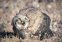 A young Great Horned Owl Puffs its wings to look bigger after it flue from the nest and landed on the desert floor in southern Arizona.