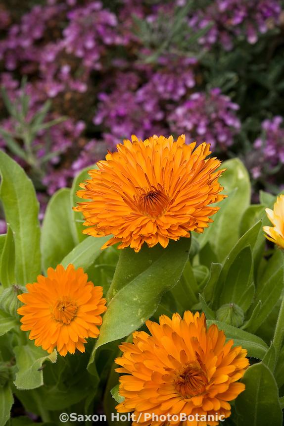 Orange edible flower, Calendula, with herbs purple flowering thyme, growing in garden at Green String Farm, California