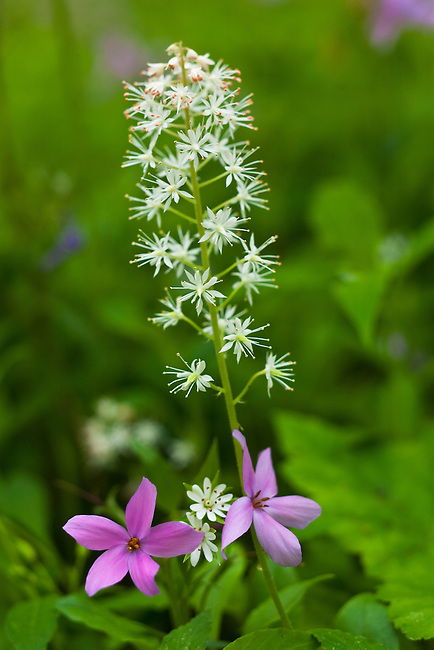Foamflower (Tiarella cordifolia), Phlox (Phlox divaricata), and Star Chickweed (Stellaria pubera)
