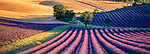 Lavender fields, Sault, Provence, France