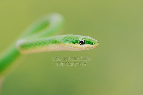 Rough Green Snake (Opheodrys aestivus), Refugio, Coastel Bend, Texas, USA
