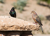 European Starling, Sturnus vulgaris, and Mourning Dove, Zenaida macroura, perch together at the Riparian Preserve at Water Ranch, Gilbert, Arizona