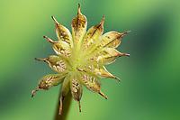 Sumpf-Dotterblume, Sumpfdotterblume, Früchte, Samen, Samenstand, Fruchtstand, Same, Dotterblume, Caltha palustris, Kingcup, Kingscup, Marsh Marigold, seed, Populage des marais