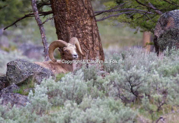 A male big horn sheep  lays next to a big rock under a tree in Yellowstone National Park.