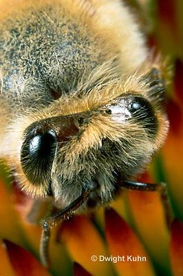 1B07-500z  Honeybee face, close-up of 5 eyes, 3 simple eyes, 2 compound eyes, Apis mellifera