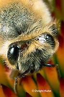 1B07-500z  Honeybee face, close-up of 5 eyes, 3 simple eyes, 2 compound eyes, Apis mellifera