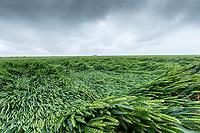 Wheat lodged following heavy rain & wind - Lincolnshire, June