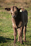 Damon, Texas; a newborn brown calf is standing in the pasture in early morning sunlight
