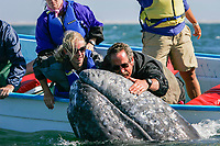 Adult California gray whale, Eschrichtius robustus, with excited whale watchers in the calm waters of San Ignacio Lagoon, Baja California Sur, Mexico, Pacific Ocean