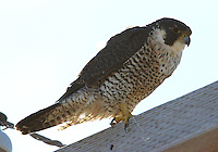Peregrine falcon adult on cross arm